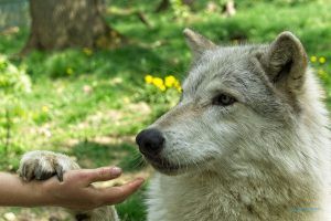 Read more about the article Wolf Science Center 2018