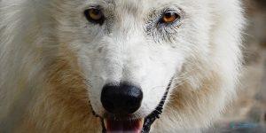Ernstbrunn (Wolf Science Center)